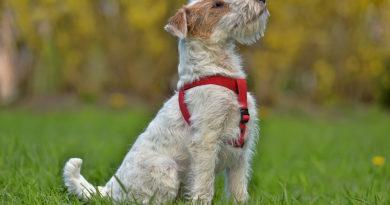 Airedale Terrier In Summer © bigstockphoto.com / evdoha