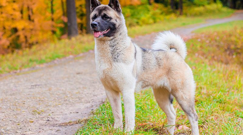 Akita Breed Dog © bigstockphoto.com / alenka2194