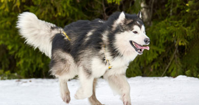 Alaskan Malamute © bigstockphoto.com / travelarium