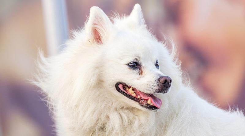 Cute American eskimo dog © bigstockphoto.com / krash20