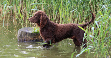 American Water Spaniel breed profile