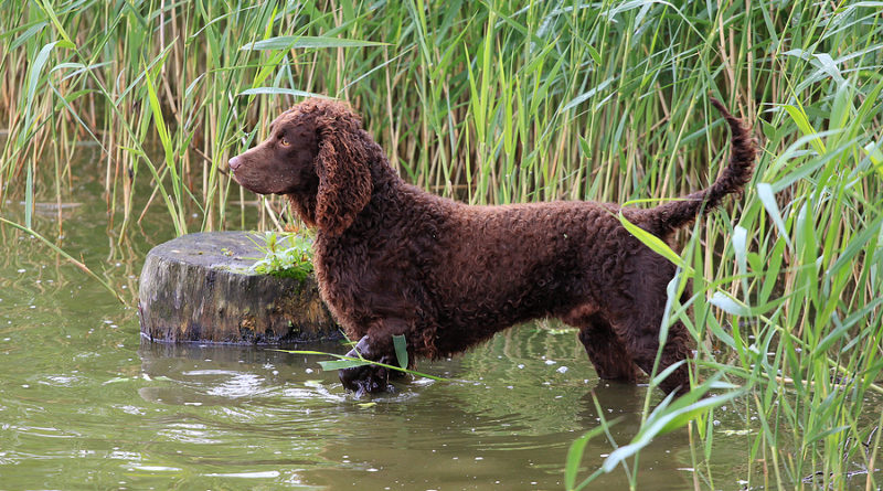 American Water Spaniel breed profile