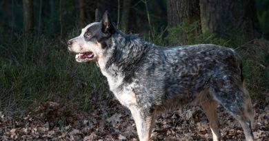 Gray Australian Cattle Dog breed profile