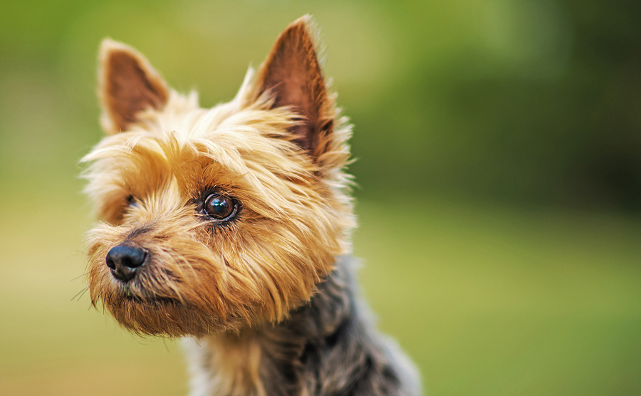 Australian Terrier -Breed profile and facts   DogsGossip.com