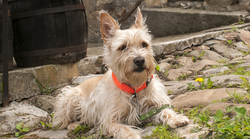 Young australian terrier dog closeup on rustic paved road © bigstockphoto.com / varbenov