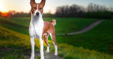 Basenji breed profile, characteristics and facts