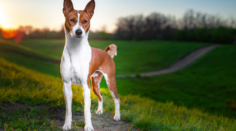 Basenji breed profile, characteristics and facts