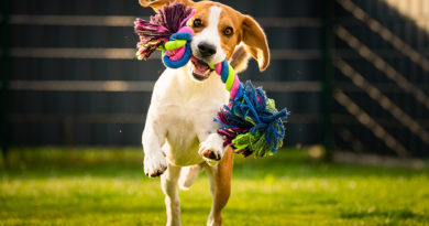 Beagle Dog Runs In Garden T© bigstockphoto.com / MadPhotosPI