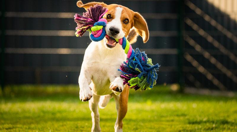 Beagle Dog Runs In Garden T© bigstockphoto.com / MadPhotosPI