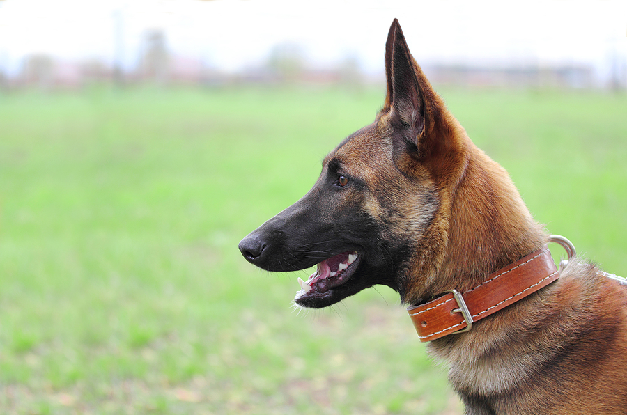 Belgian Shepherd 101: What you need to know   DogsGossip.com