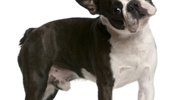 Boston Terrier: Breed profile, characteristics and facts