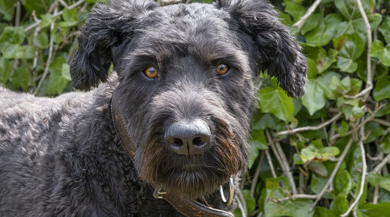 Bouvier Des Flanders Breed profile, characteristics and facts © bigstockphoto.com / Dasya11