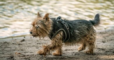 Cairn Terrier Breed profile, characteristics and facts