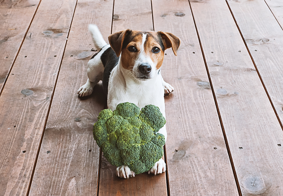 Adorable young jack russell dog lying with fresh green broccoli © bigstockphoto.com / Kira_Yan