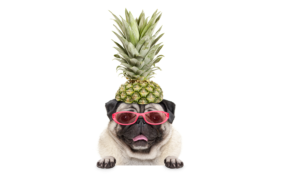 portrait of cute funny summer pug with sunglasses and pineapple hat © bigstockphoto.com / Monica Click
