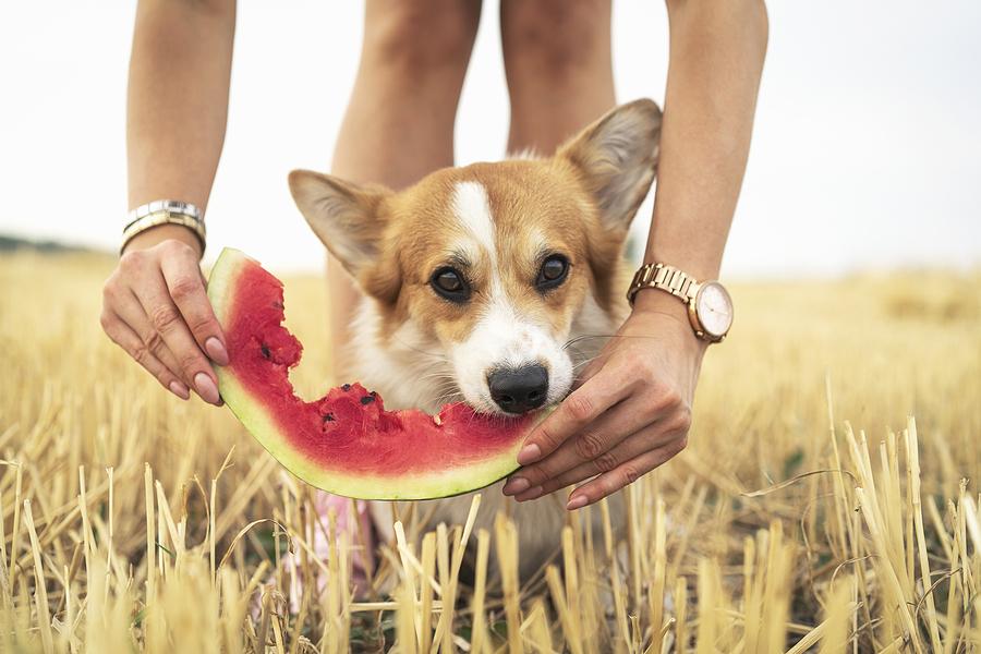 pembroke welsh corgi dog eating summer water melon © bigstockphoto.com / Masarik