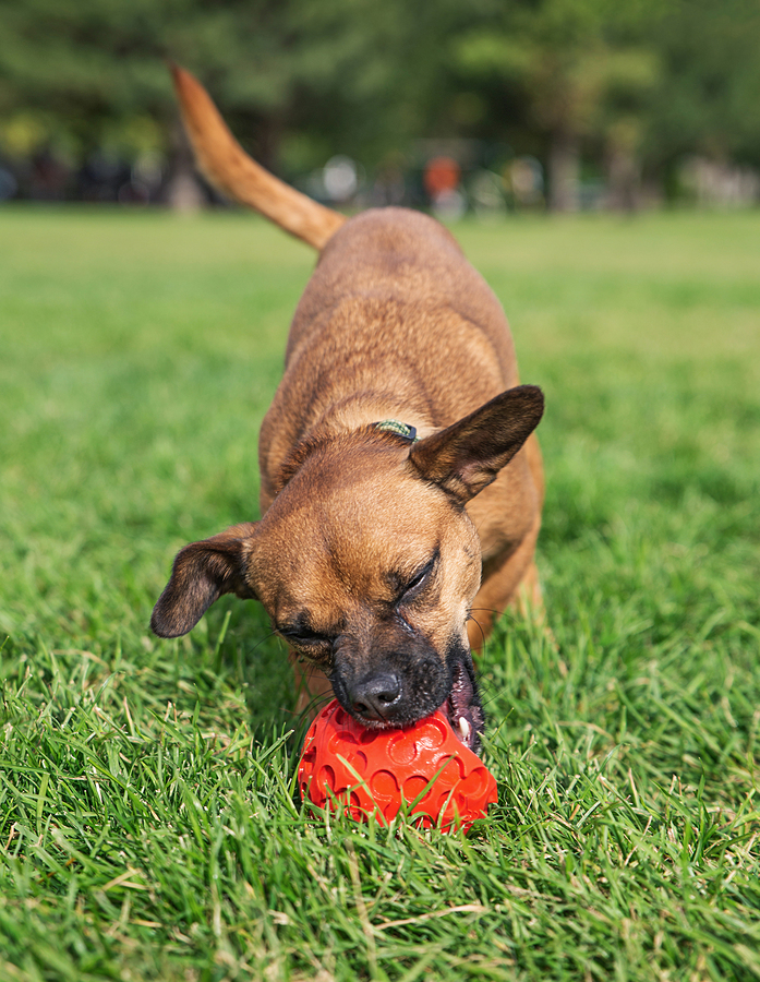 cute chihuahua dachshund mix playing with a red rubber ball © bigstockphoto.com / graphicphoto