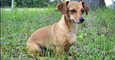 chiweenie breed profile