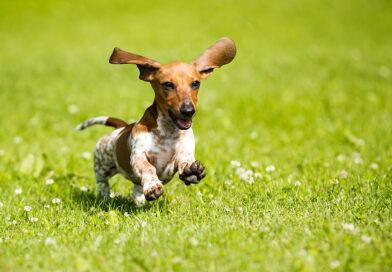 Dachshund: Breed profile, characteristics and facts