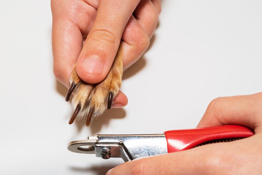 grooming for dogs -nail trimming © bigstockphoto.com / Shveyn Irina