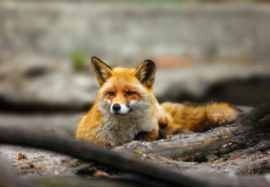 fox names © bigstockphoto.com / Arepiv