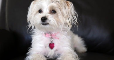 Maltese Yorkie mix also known as a Morkie puppy © bigstockphoto.com / mikeledray
