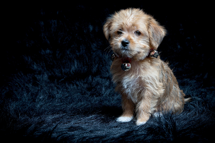 Yorkshire Terrier and Maltese Mixed Breed Puppy, © bigstockphoto.com / LuminescentMemories