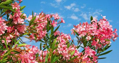 Bright Pink Flowers Of Oleander Tree © bigstockphoto.com / HelgaGont