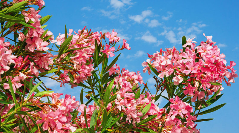 Bright Pink Flowers Of Oleander Tree © bigstockphoto.com / HelgaGont