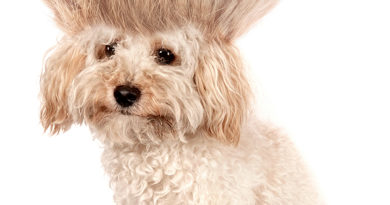 Crazy dog poodle puppy with funny haircut © bigstockphoto.com / Richard Peterson