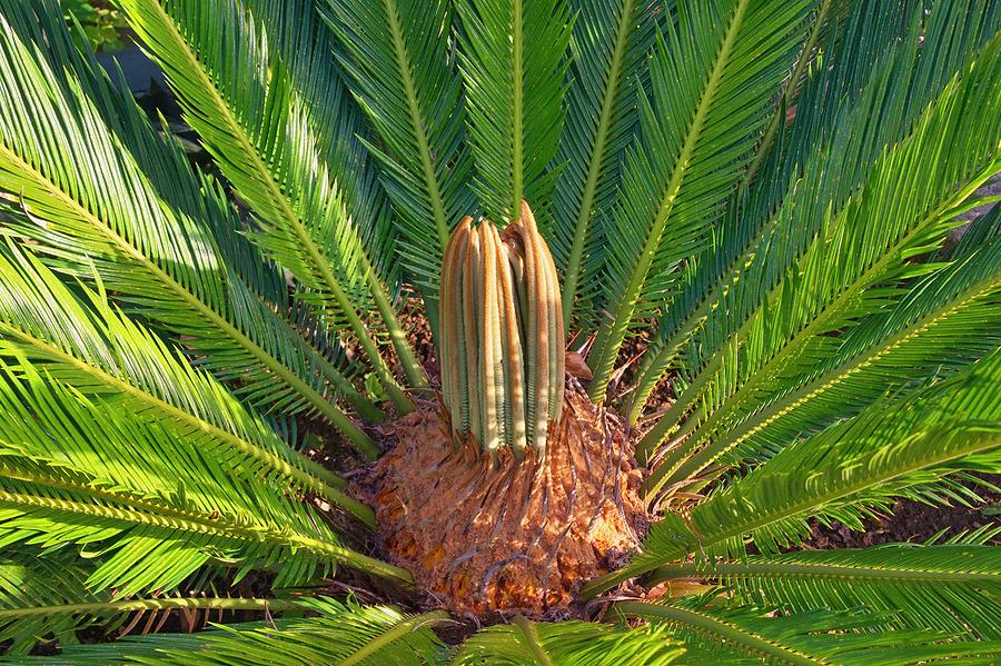 Sago Palm © bigstockphoto.com / HelgaGont