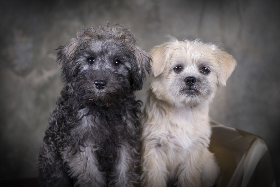 Two cute Schnoodle puppies sitting next to each other. © bigstockphoto.com / Eponaleah