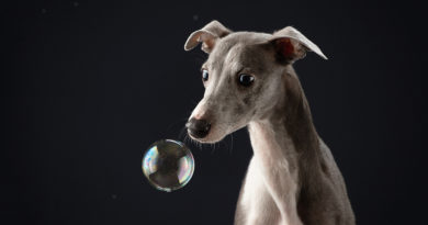Whippet With Soap Bubbles © bigstockphoto.com / Anna-av