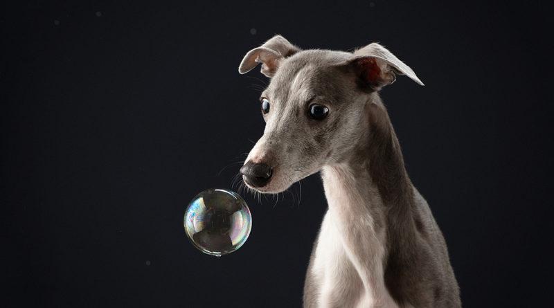 Whippet With Soap Bubbles © bigstockphoto.com / Anna-av