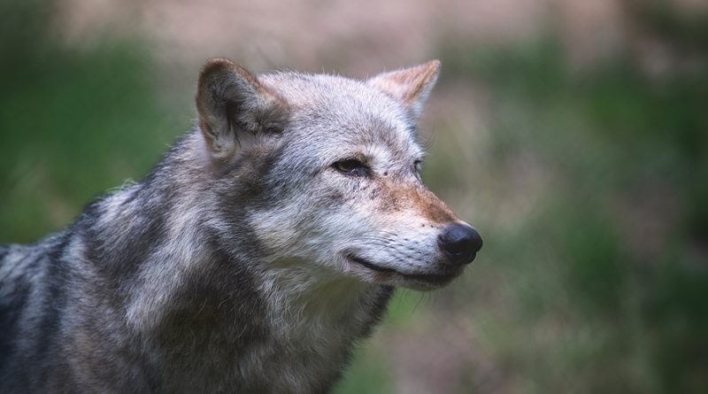 wolf names © bigstockphoto.com / Rixie