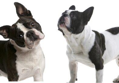 Boston Terrier vs French Bulldog key differences