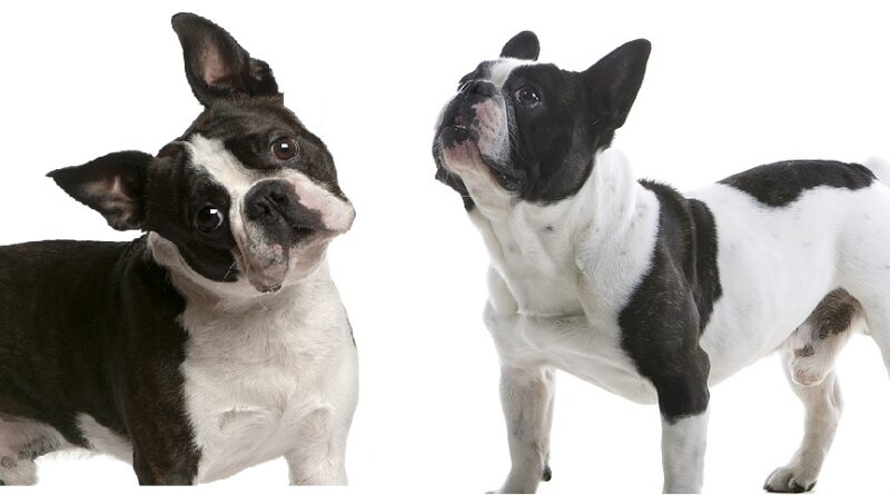 Boston Terrier vs French Bulldog key differences
