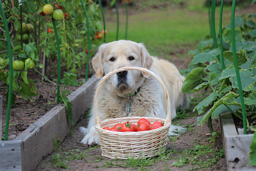 are tomatoes bad for dogs?