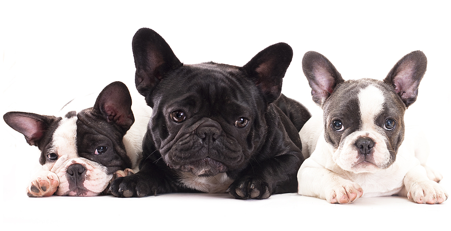 French Bulldog - how is it different from a Boston Terrier