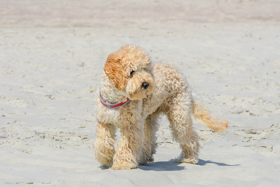Goldendoodle - all you need to know