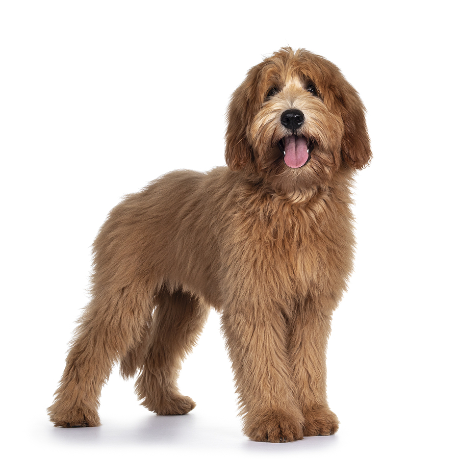 labradoodle - all you need to know