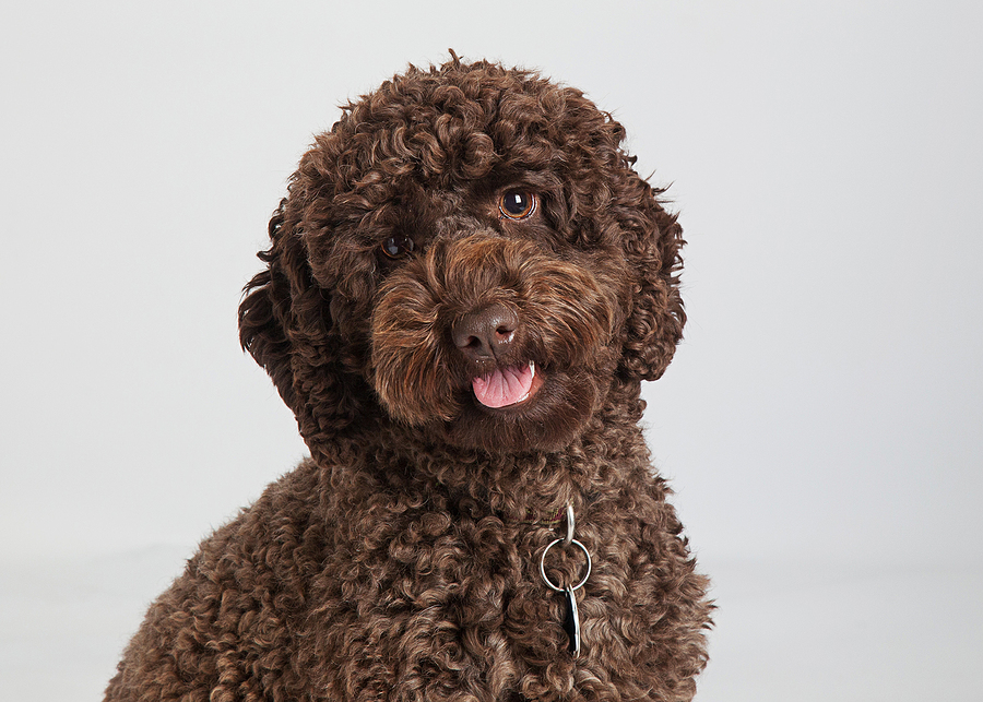 chocolate brown labradoodle