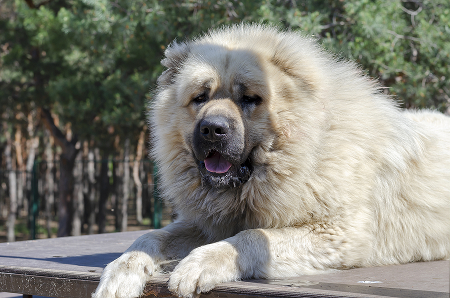 Russian Bear dog - breed profile, characteristics and facts