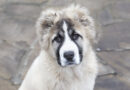 Russian Bear Dog - Breed profile characteristics and facts