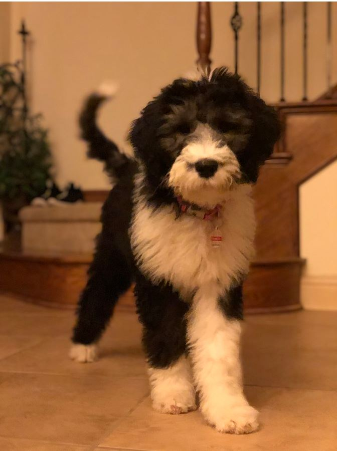Sheepadoodle - all you need to know about this breed