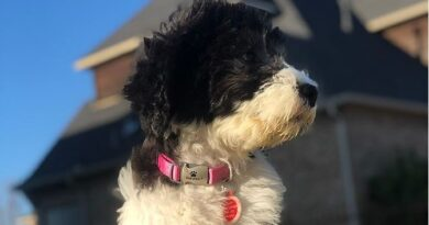 Sheepadoodle - Breed profile, characteristics and facts