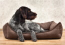german wirehaired pointer lying in a dog bed